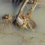 The Frogs Have Laid Eggs