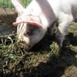 Living like a pig